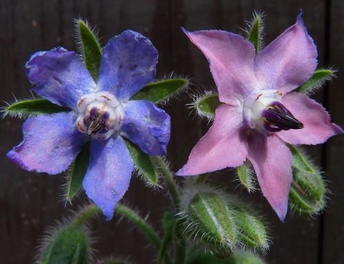 دمنوش گل گاوزبان و سنبل طیب